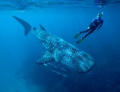 The amazing colours and patterns of the whale shark