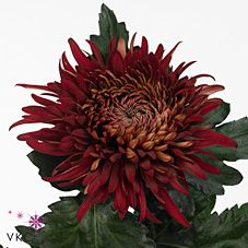 John Riley is a Red disbudded, single headed cut flower. Perfect to create an autumnal or Christmas arrangement. A beautiful flowerhead contrasted by the rich shiny greenery. Christmas Arrangements, Wedding Flower Arrangements, Wedding Flowers, Cut Flowers, Fresh Flowers, Burgundy Colour, Florist Supplies, April Wedding, Gothic Wedding
