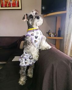 """Explore our site for even more info on """"miniature yorkies"""". It is actually an exceptional spot to get more information. Mini Schnauzer Puppies, Schnauzer Puppy, Miniature Schnauzer, Schnauzers, Cute Teacup Puppies, Puppies And Kitties, Schnoodle Dog, Yorkshire Terrier Puppies, Dog Pin"""