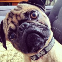 Mr. Pug says: What did you just say, punk?