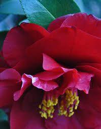 Картинки по запросу Camellia Japonica 'Cherries Jubilee'
