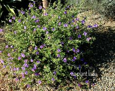 Desert Ruellia - Maintenance: Prune back to 1 1/2 ft. in early March.  Avoid repeated pruning during the year.  Allow it to grow into its natural shape.    Hardy to 25 degrees.