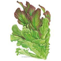400//2000 Seeds NT Lettuce Green Similar Leaf Oak Salad Vegetables