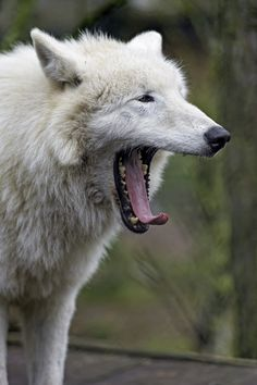 An Arctic Wolf Yawning I Have More Pictures Of These Wolves