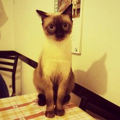 Wilson... Siamese - 1 year old- nice little Face ^_^