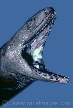 License high quality Stock Photo or order Print of Frilled Shark Chlamydoselachus anguineus. Weird Sharks, Frilled Shark, Types Of Sharks, Fish Face, Deep Sea Creatures, Shark Week, Mammals, Reptiles, Ocean Life