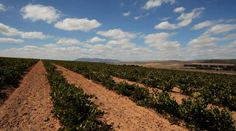 All of our vineyards, whether in Darling or in Amoskuil south of Darling, are planted on dryland farms