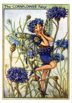The Cornflower Fairy was first published in London by Blackie, 1944 in Flower Fairies of the Garden. It was reproduced a few years later in a compilation book Flower Fairies of the Flowers and Trees, London, Blackie, 1950. Illustration, Cicely Mary Barker.