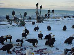 Feeding the Bald Eagles