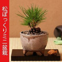 Pine Cone Bonsai....