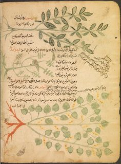 Page from an Arabic Botanical Treatise