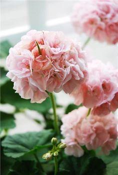 Houseplants That Filter the Air We Breathe Mrbacka Pelargon - Gamla Sorten Geranium Plant, Pink Geranium, Garden Plants, House Plants, Beautiful Gardens, Beautiful Flowers, Malva, My Secret Garden, Garden Planning