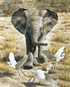 Watercolor and Gouache mixed media on illustration board - Flushing Egrets shows an excited baby elephant chasing egrets, trying to play with them.