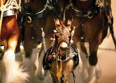 I absolutely love Budweiser Clydesdale commercials :)