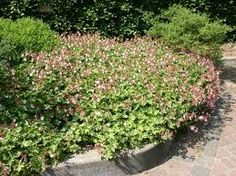 Image result for geranium ingwersen's Geraniums, Plants, House, Image, Home, Plant, Homes, Planets, Houses
