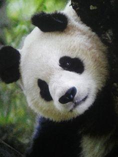 Pandas ♥  LOVE LOVE these gentle creatures!