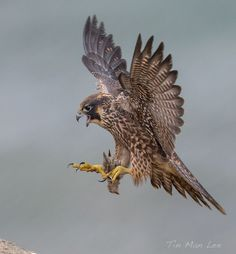 falcon bird fighting in air images - Google Search