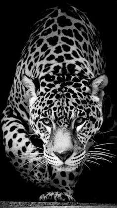beautiful jaguar face - Google Search
