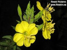 1000 YELLOW EVENING PRIMROSE Oenothera lamarckiana Flower Seeds >>> Read more reviews of the product by visiting the link on the image.(This is an Amazon affiliate link and I receive a commission for the sales)