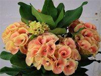 Euphorbia millii - Giant Chok Kao Chan  Click to see full-size image