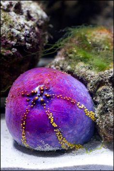 Pepino de Mar en el Acuario del Parque Explora. Diferentes especies de plantas y animales se pueden observar en el acuario. Tanto peces y especies nativas como extranjeras