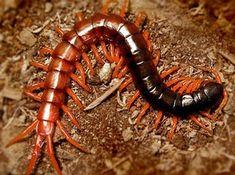 Scolopendra spinosissima
