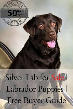 Silver Lab for Sale is on a first come first serve basis. Buying a healthy puppy is art. Certainly, with our tips and techniques, you can buy a defect-free puppy. Therefore, read the whole page and enjoy............. Silver Labrador Puppies, Silver Labrador Retriever, Labrador Puppies For Sale, Free Puppies, Rare Dogs, Rare Dog Breeds, Silver Labs For Sale, Puppy Starter Kit, Puppy Images