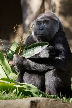 Gorilla and Leaf | Flickr - Photo Sharing!