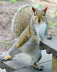 Funny Squirrel Pictures reveal how special these little critters are. From their costumes to their unquenchable desire for seeds and nuts, these guys are unbeatable. Squirrel Girl, Cute Squirrel, Squirrels, Animals And Pets, Funny Animals, Cute Animals, Hamsters, Rodents, Funny Squirrel Pictures