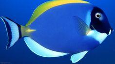 Fish in the ocean | Blue-Fish-Close-up-fish-wallpapers-ocean-sea-underwater-water-1280x720 ...