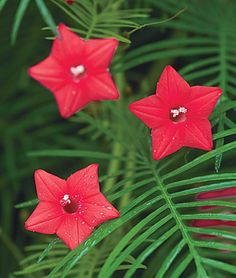 HUMMINGBIRD MAGNET- THE CYPRESS VINE, RED ALSO CALLED THE HUMMINGBIRD VINE