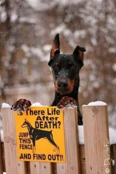 The Doberman Pinscher is among the most popular breed of dogs in the world. Known for its intelligence and loyalty, the Pinscher is both a police- favorite Doberman Pinscher, Mini Pinscher, I Love Dogs, Cute Dogs, Animal Pictures, Funny Pictures, Amazing Pictures, Dog Pictures, Funny Animals