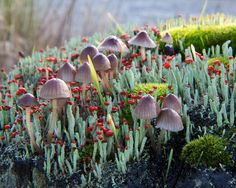 Mycena, British Soldiers and Moss....all in a secret magical garden