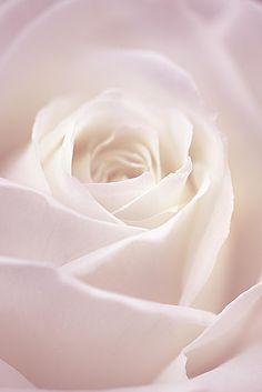 Winter rose by Manabu Oda / 500px