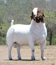 Cattle Farming, Goat Farming, Farm Animals, Animals And Pets, Cute Animals, Cabras Boer, Weird Looking Animals, Female Goat, Show Goats