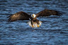 The Incredible American Bald Eagle