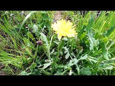 Riconoscere il Caccialepre (Reichardia picroides) e come cucinarlo - YouTube