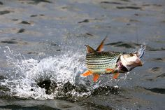 Matt Harris is one of the most renowned fly-fishing photographers in the world. He has been working for the top firms in the industry for long years and trav. African Tiger, Tiger Fish, Cool Fish, Baby Fish, Prehistoric Animals, Photographing Kids, Freshwater Fish, Fly Fishing, The Dreamers