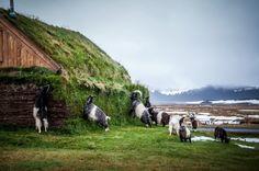 "#goatvet likes these  ""Icelandic Goats"" by Kyle Mortara"