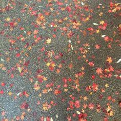 단풍잎  maple leaf