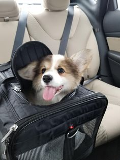 Meet Fitz my new 14 week corgi on his way home