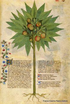 """CONSIGLI DAL MEDIOEVO: LE ARANCE - """"I frutti dell'arancio sono conosciuti e hanno numerose virtù: rinforzano validamente lo stomaco, riscaldano il raffreddato e uccidono i vermi lombricoidi. Danno un buon odore alla bocca, confortano il cuore e dissipano la flemma. Il loro succo, bevuto a digiuno, giova al colerico e all'epatico"""". Dal codice """"Historia Plantarum"""", fine XIV secolo."""