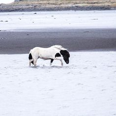 """889 gilla-markeringar, 13 kommentarer - ♡ICELANDIC HORSES♡ (@mystery.horses) på Instagram: """"Beauty crossing the river Fell in love with this strange horse He was alone wondering our land on…"""""""