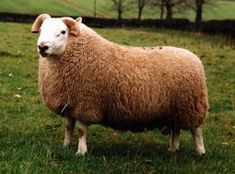 South Country Cheviot Ram