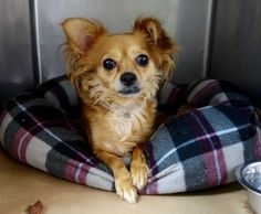 Urgent Manhattan - MAVIS - #A1093734 - FEMALE TAN CHIHUAHUA LH MIX, 4 Yrs - OWNER SUR - EVALUATE, NO HOLD Reason MOVE2PRIVA - Intake 10/17/16 Due Out 10/17/16 - VERY NERVOUS, SCARED, RESISTED HANDLING
