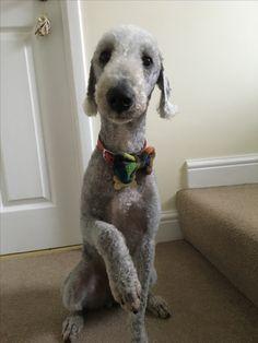 Smart as a carrot Bobbi the bedlington terrier