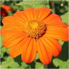Mexican Torch Sunflower Seeds (Tithonia rotundifolia) Soda Can Flowers, Cut Flowers, Fresh Flowers, Colorful Flowers, Mexican Sunflower, Mexican Flowers, Sunflower Bouquets, Sunflower Seeds, Top Soil