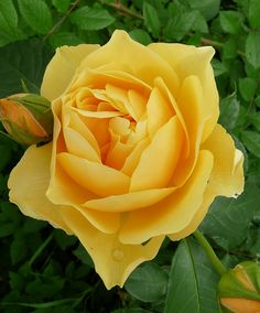 Yellow roses, my late Mom's favorite.