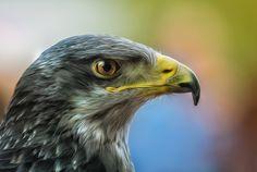 eagle by Detlef Knapp on 500px