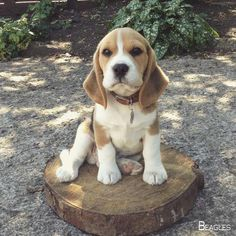 The many things I respect about the Friendly Beagle Puppies #beaglelovers #beaglepuppy #beaglesfunny